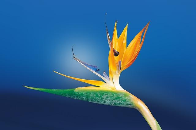 flor de Strelitzia Reginae