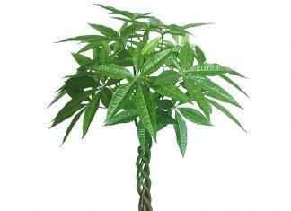 Cómo cultivar plantas de Pachira en el jardín.