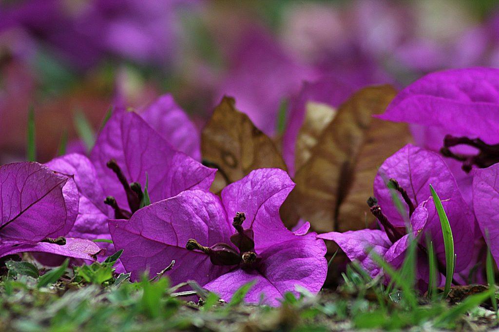 buganvilla flor