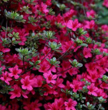 Rododendros cuidados y consejos mi jard n - Cuando plantar cesped ...