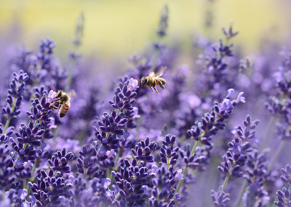 abejas sobre lavandas