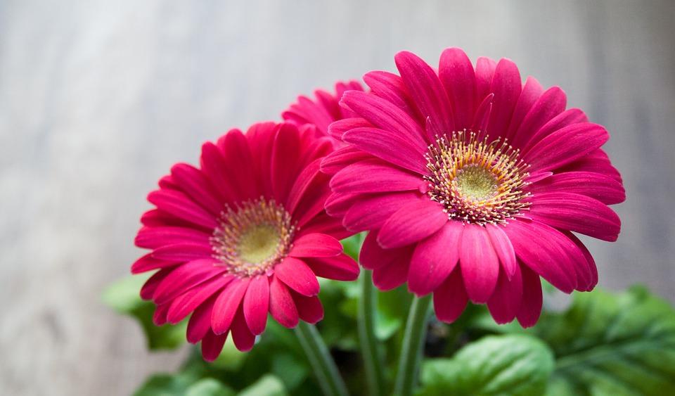 Cómo y cuándo plantar flores de Gerbera? - Mi Jardín