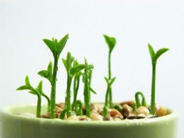 C mo y cu ndo plantar dracaena marginata mi jard n - Cuando plantar cesped ...