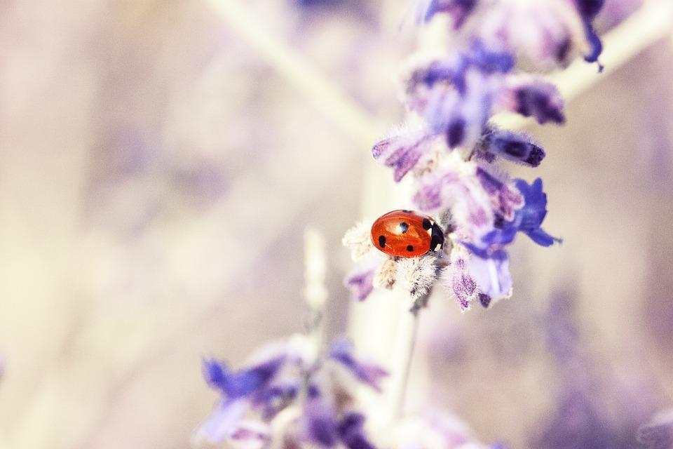 insecto posado en flor de lavanda