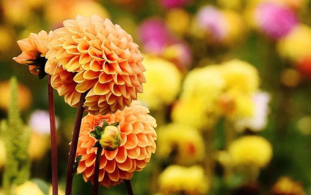 dalia flor