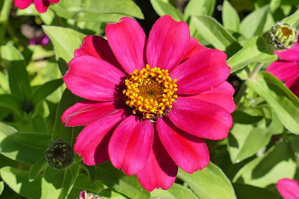 Cómo y cuándo plantar Zinnia en tu jardín - Mi Jardín