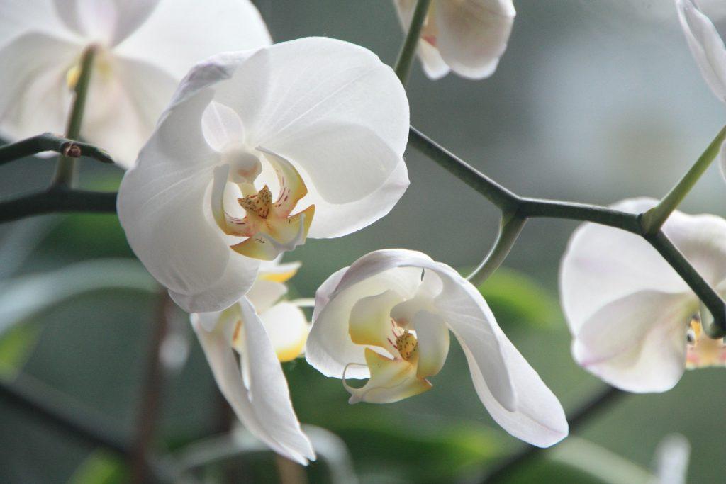 orquidea flor