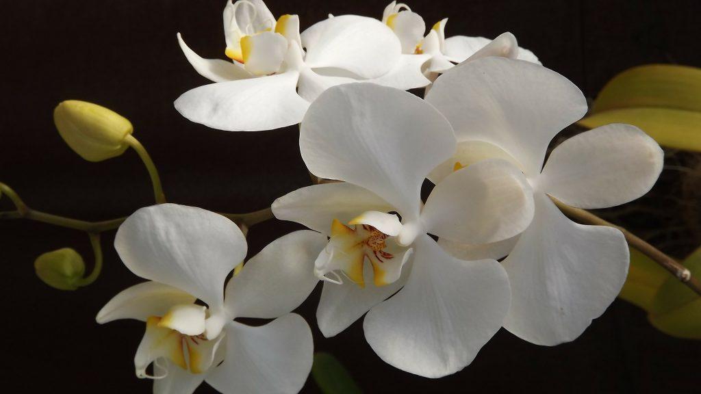 primer plano de orquideas