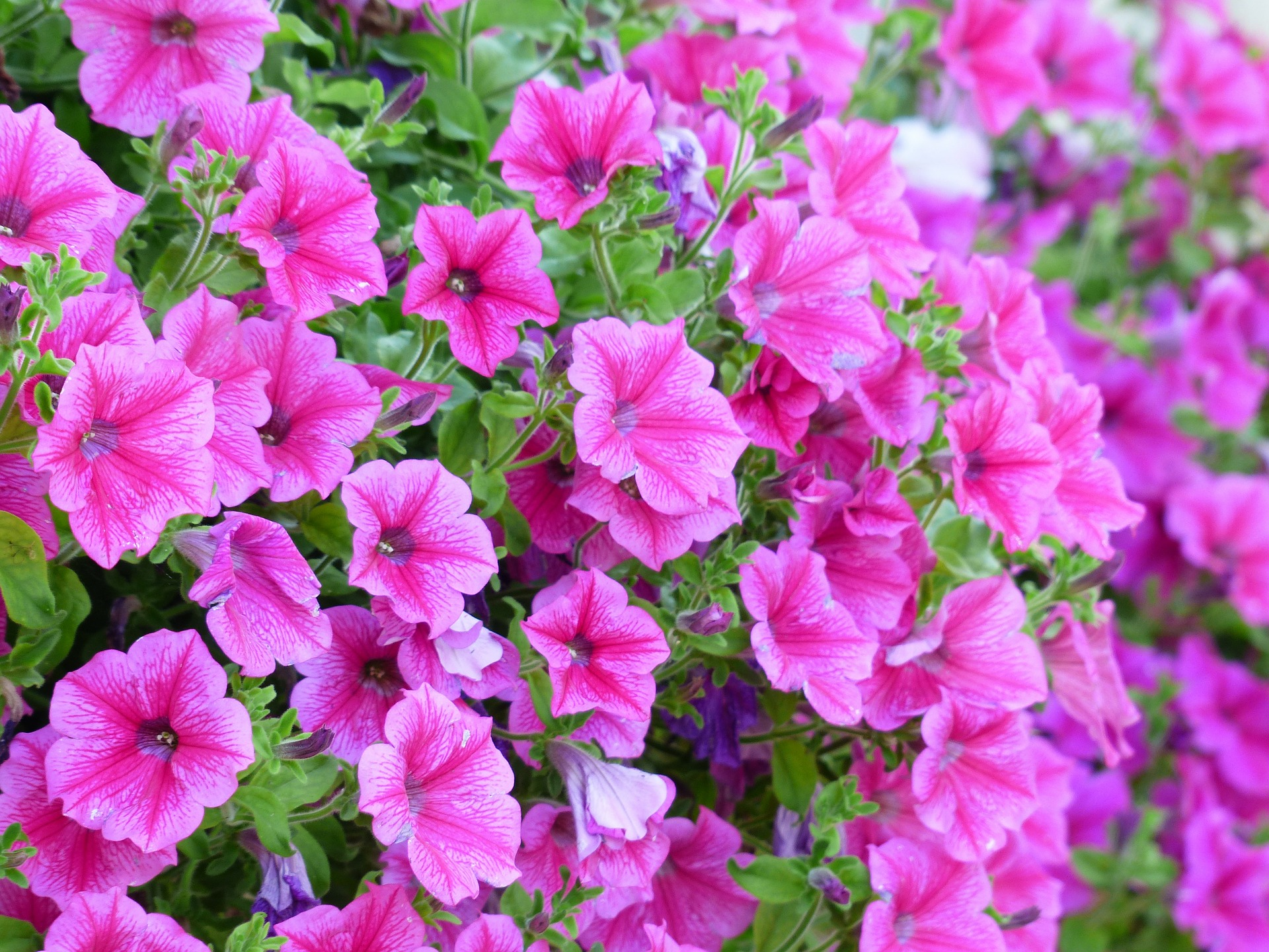 planta colgante petunia