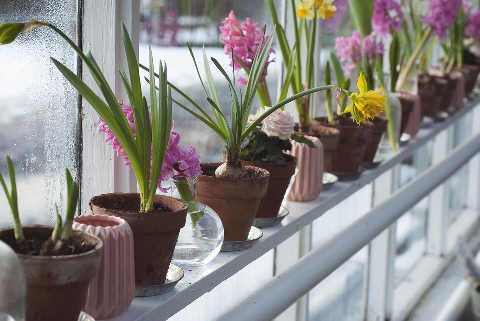 cómo y cuándo plantar jacintos - mi jardín