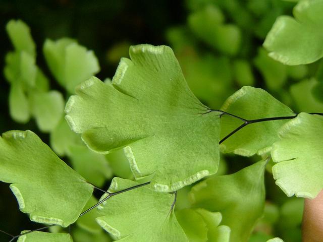plantacion Adiantum Capillus-Veneris