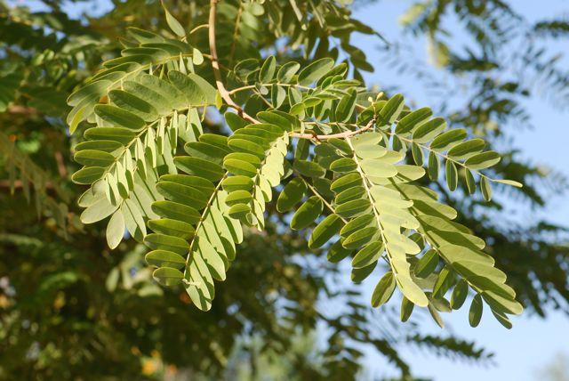 primer plano hojas Tipuana Tipu