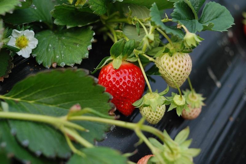 C mo y cu ndo plantar fresas mi jard n for Frutas ornamentales