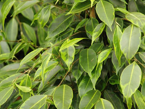 Mantenimientos de los arbustos de Ficus