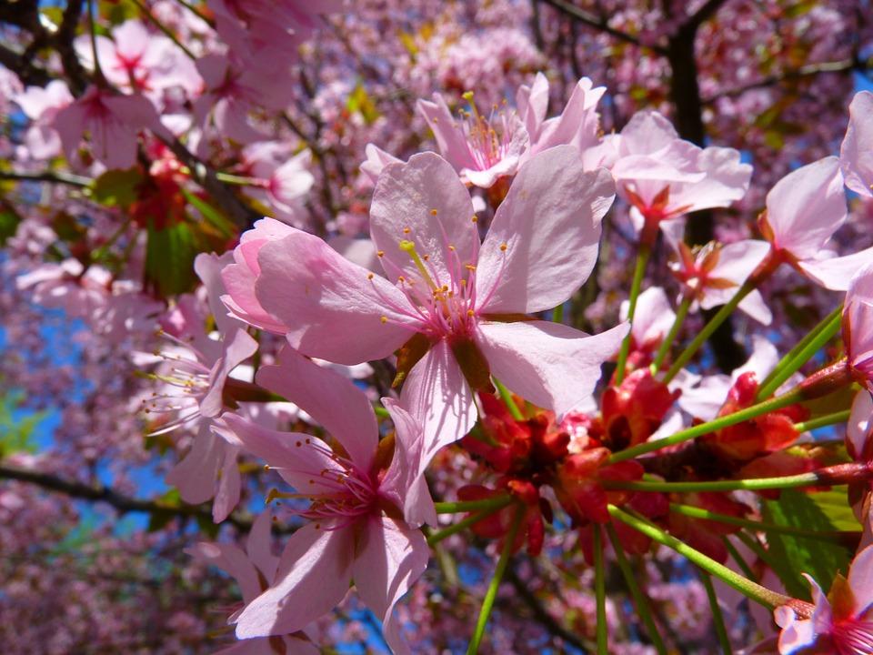 cómo y cuándo plantar prunus cerasifera - mi jardín