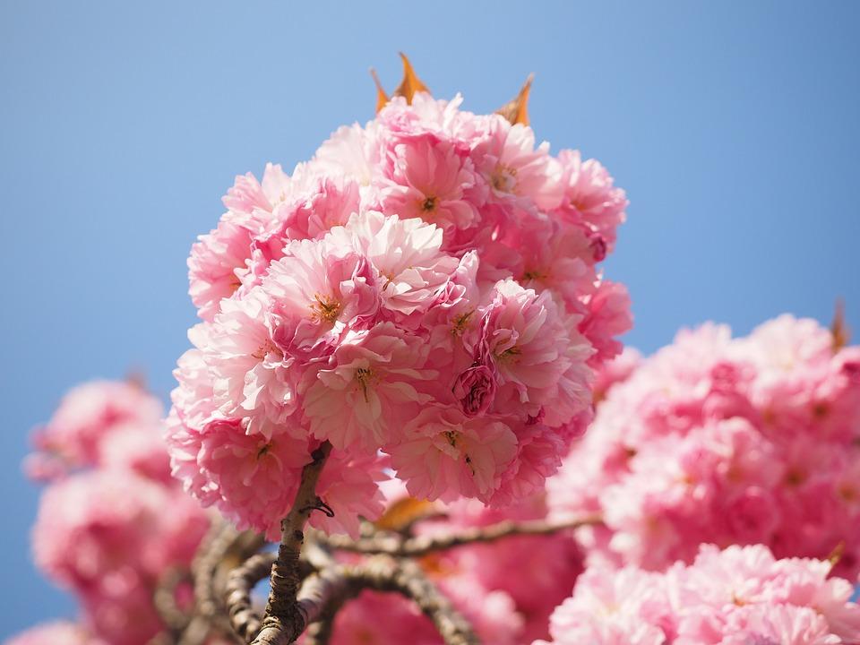cómo y cuándo plantar prunus serrulata - mi jardín