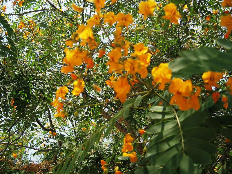 árbol de Tipuana Tipu
