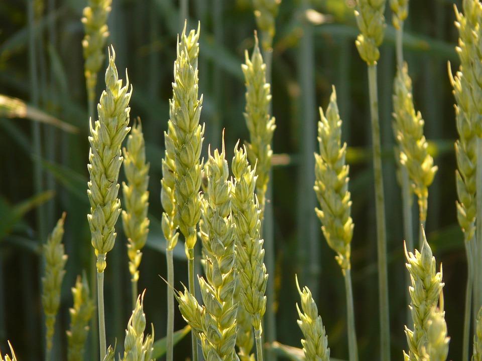 cuidado del trigo