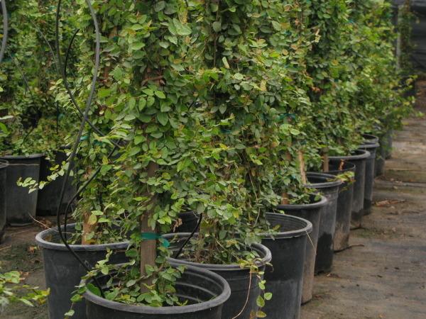 cuidados Ficus Repens