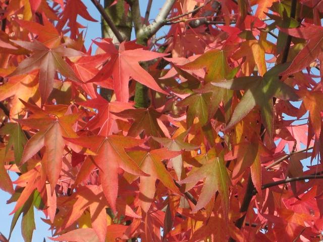 hojas de Liquidámbar