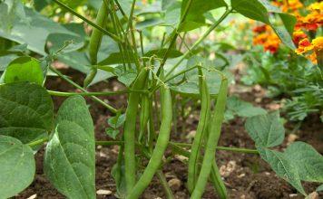 cultivar-habichuelas