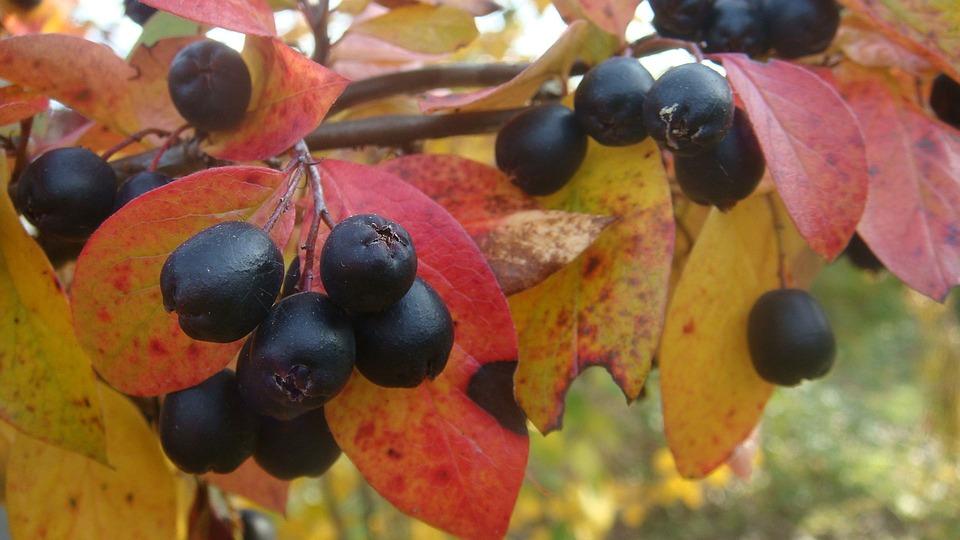 plantancion de Cotoneaster