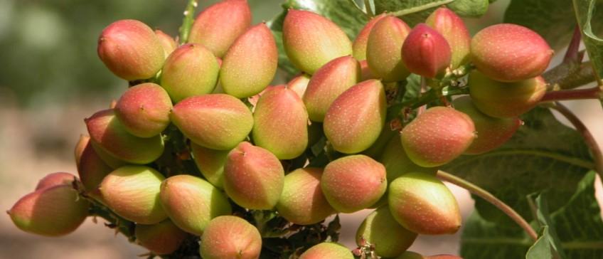 C mo y cu ndo plantar pistachos mi jard n for Poda de arboles zona sur