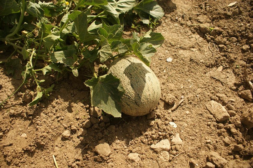 plagas del melon