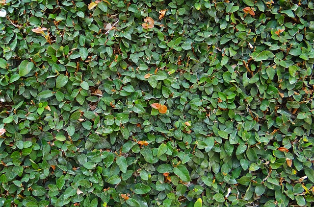 plantacion Ficus-Repens