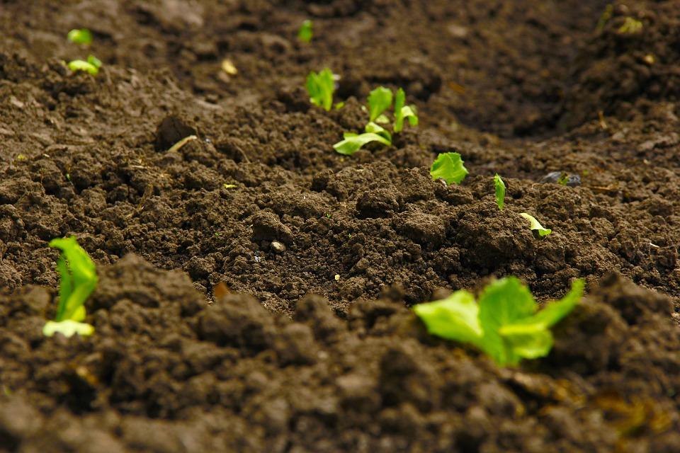 plantacion-de-los-guisantes