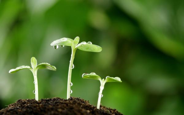plantar guindilla