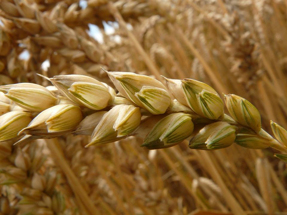 C mo y cu ndo plantar trigo mi jard n - Cuando plantar cesped ...