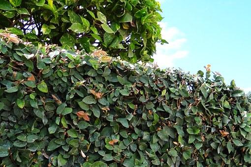 cuidados de Ficus Pumila