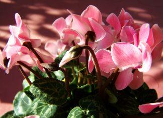 Flor Cyclamen