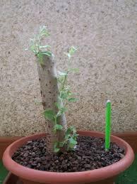 Plantacion Populus Alba