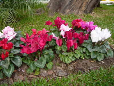 Plantacion ciclamen
