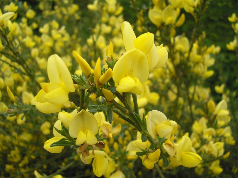 Retama flor variedades