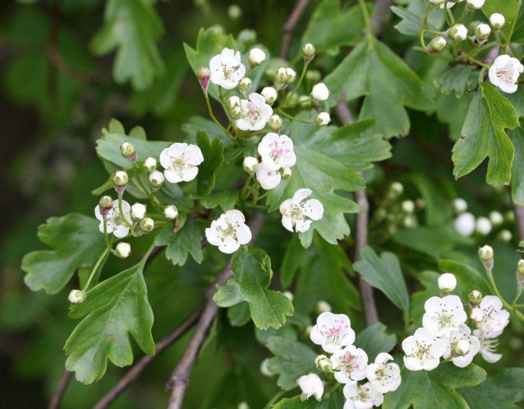 crataegus monogyna Flor