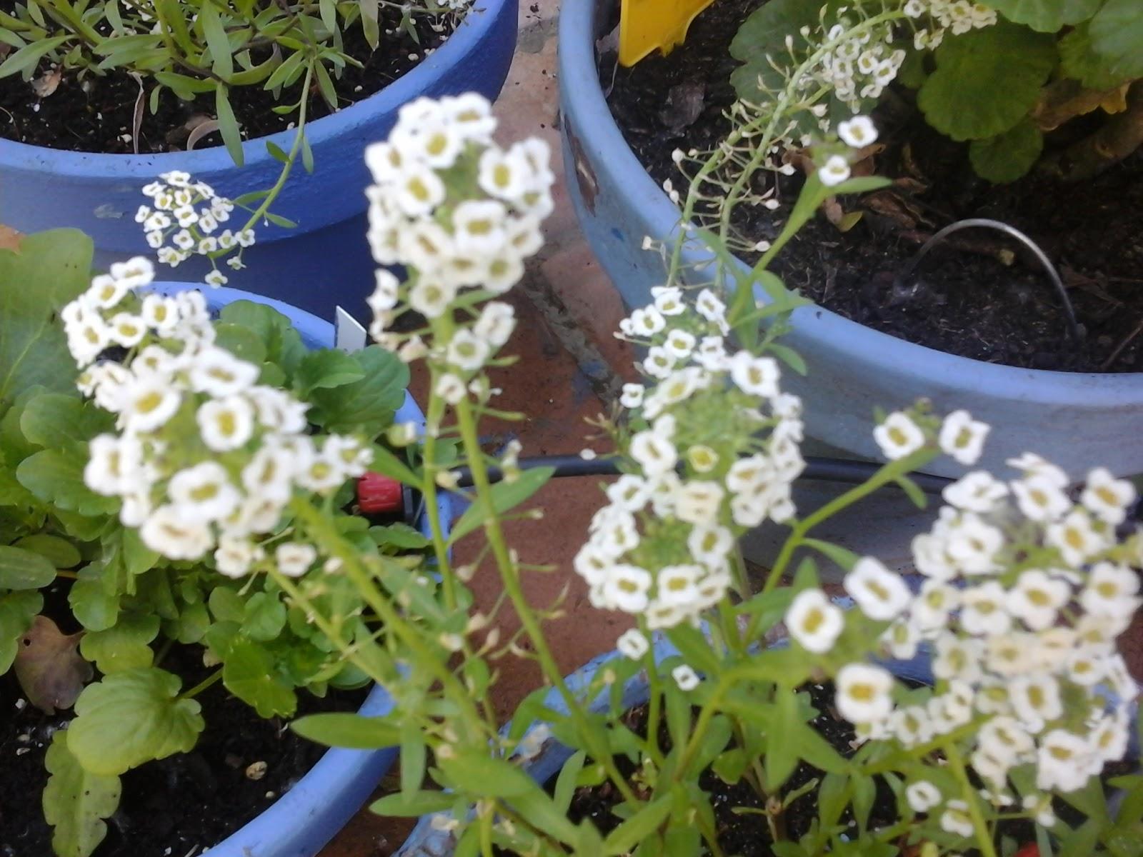 Jazmin azul cuidados perfect cultivo de hortensias gua for Hortensias cultivo y cuidados
