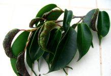 Ficus nítida cuidados báicos