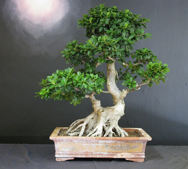 ficus retura en bonsai