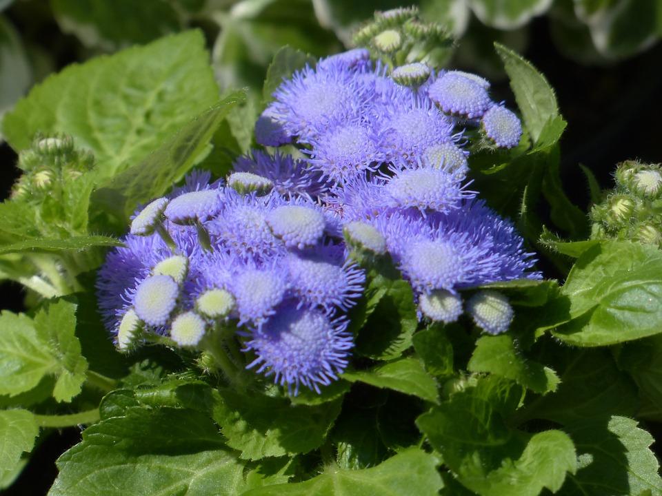 flor Agerato