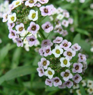 flor Alyssum Maritimum