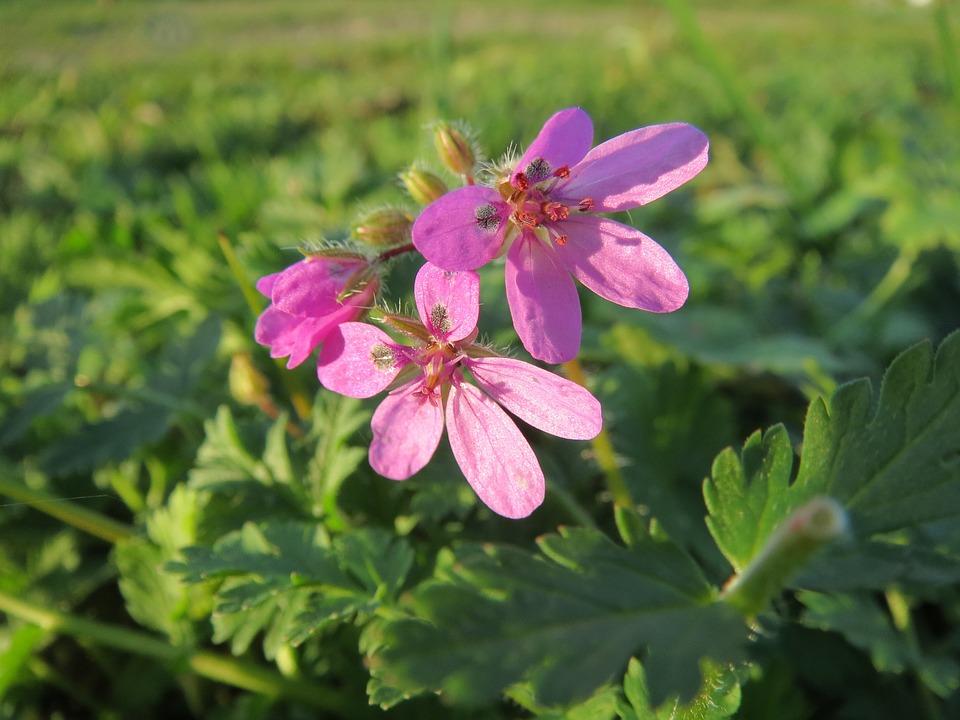 flor de Erodium Cicutarium