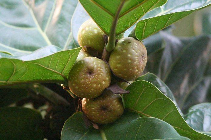 plantacion Ficus Lyrata