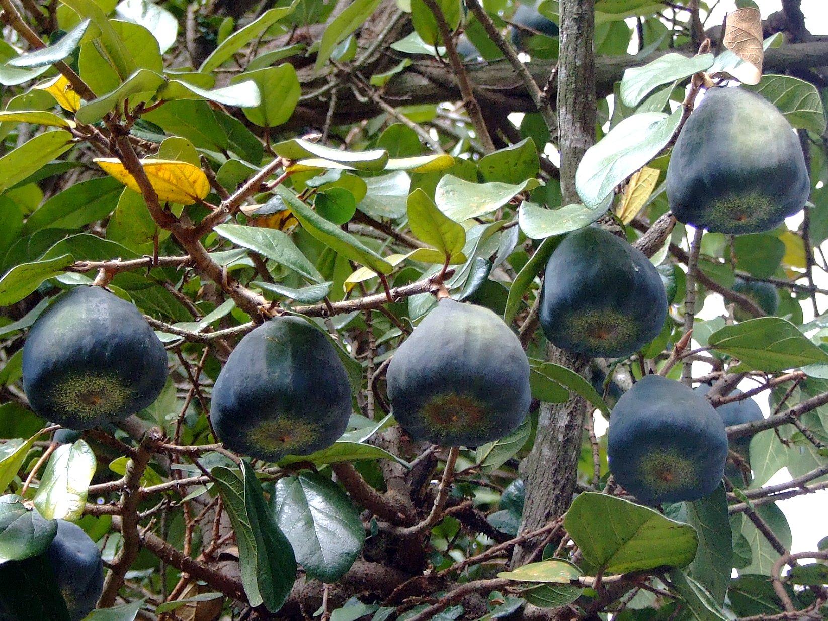 plagas de la Ficus Pumila