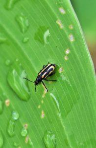 escarabajo pulga en hoja