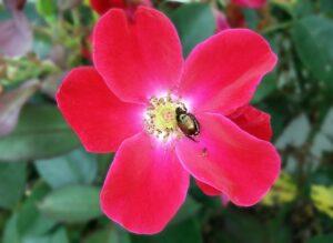 escarabajo en rosa