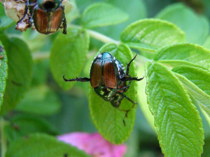 escarabajo japones en planta