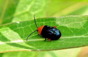 escarabajo pulga brillante
